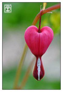 Lamprocapnos spectabilis, bleeding heart, pink heart flower, pink flower