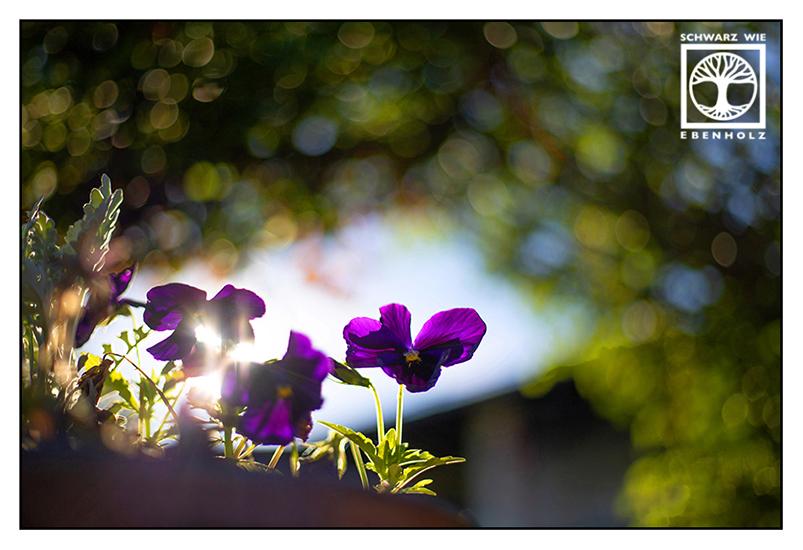 purple flower, villa, purple viola