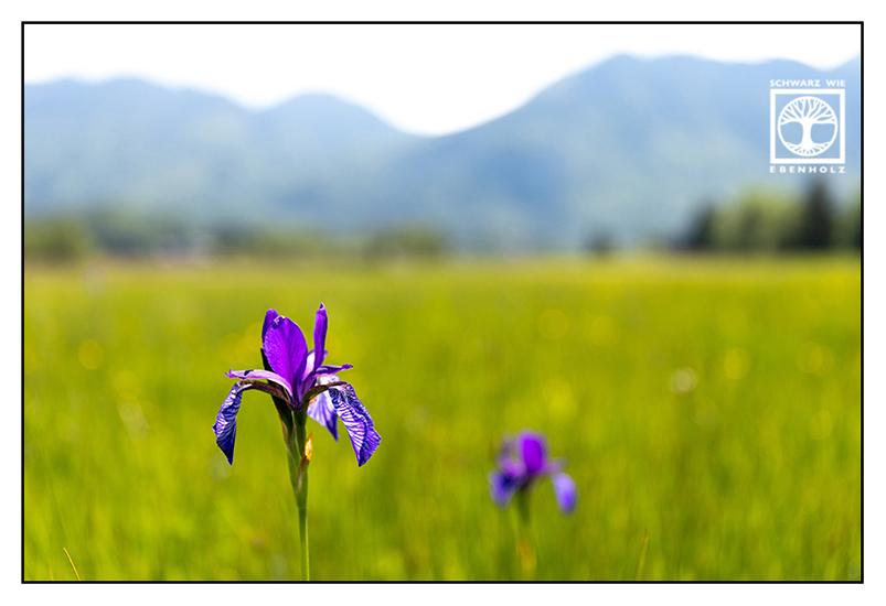 Iris, purple iris, purple flower