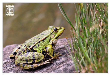 edible frog, frog