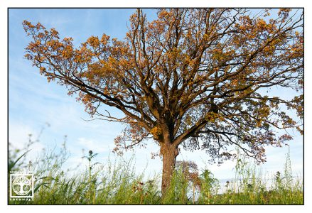 autumn tree, orange tree