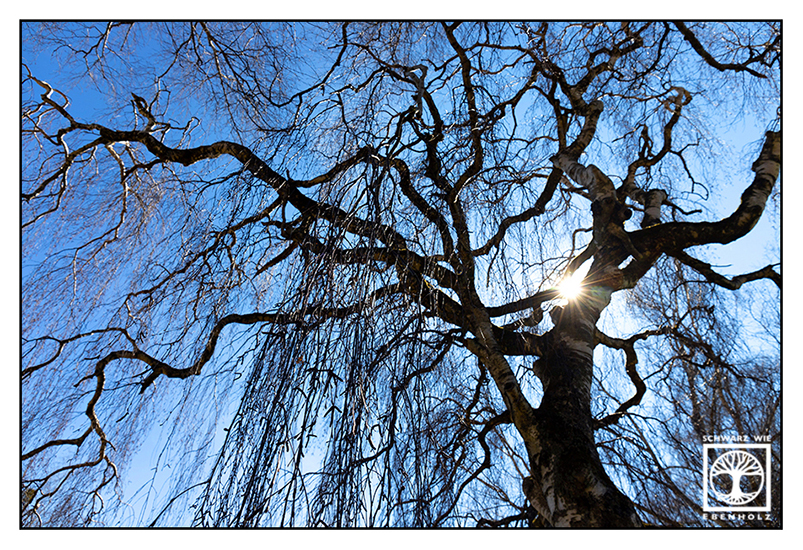 willow, weeping willow, spring, spring tree