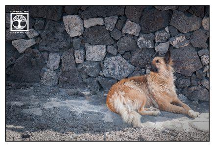 German shepherd. sheepdog, alsatian, shepherd dog