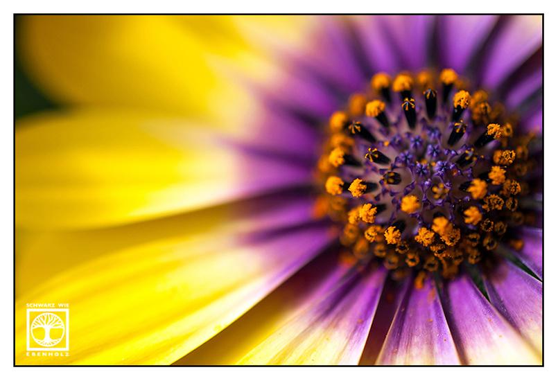 blume gelb lila, Blume makro
